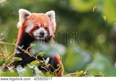 The Red Panda Is Larger Than A Domestic Cat With A Bear-like Body And Thick Russet Fur. The Belly An