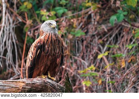The Red Kite (milvus Milvus) Is A Medium-large Bird Of Prey In The Family Accipitridae, Which Also I