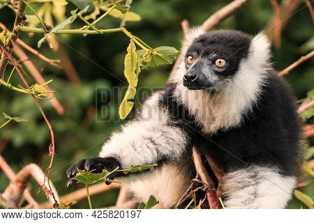 Another Sexually Dichromatic Subspecies, The White-fronted Brown Lemur Ranges Throughout The Rainfor