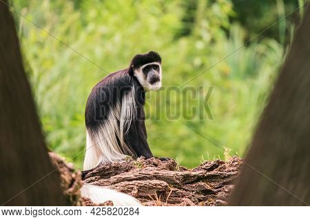 The Mantled Guereza (colobus Guereza), The Eastern Black-and-white Colobus, Or The Abyssinian Black-