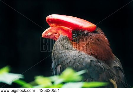 The Rufous Hornbill (buceros Hydrocorax), Also Known As The Philippine Hornbill And Locally As Kalaw