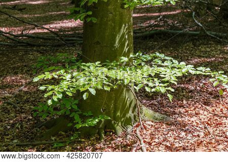 Bottom Part Of Old Beech Trunk With Small Branches In Beech Forest In Springtime