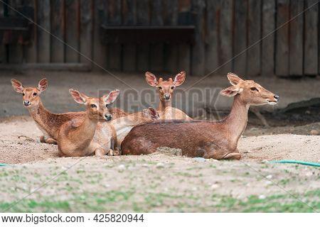 Eld's Deer (panolia Eldii), Also Known As The Thamin Or Brow-antlered Deer, Is An Endangered Species