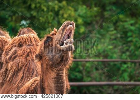 Camel With Open Mouth. The Bactrian Camel (camelus Bactrianus), Also Known As The Mongolian Camel Or