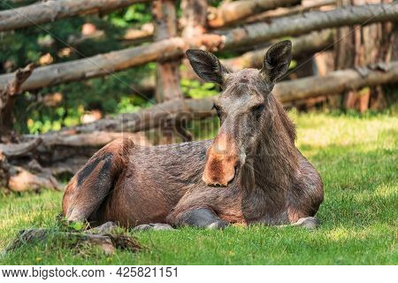 The Moose (in North America) Or Elk (in Eurasia) (alces Alces), Is A Member Of The New World Deer Su