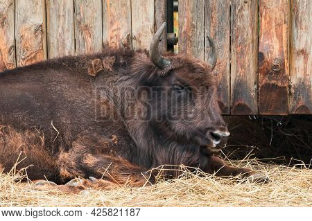 The European Bison (bison Bonasus) Or The European Wood Bison, Also Known As The Wisent Or The Zubr.