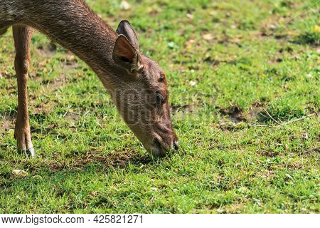 Reeves's Muntjac (muntiacus Reevesi), Also Known As The Chinese Muntjac, Is A Muntjac Species Found