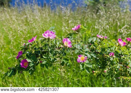Branch Of Wild Growing Flowering Dog Rose Among The Tall Grass In Summer Day, Close-up