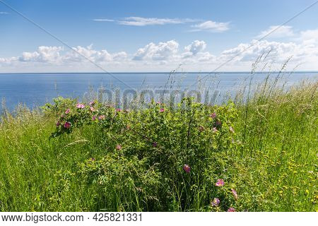 Wild Growing Shrub Of The Flowering Dog Rose Among The Tall Grass On The High Reservoir Shore Agains