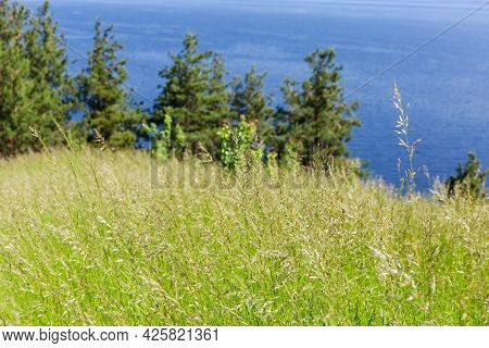 Tall Wild Growing Grass With Ears On A Blurred Background Of Pines And Water Area Of Reservoir In Su