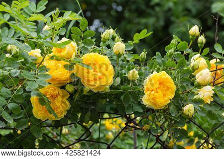 Garden Yellow Creeping Rose Clambers Along The Old Rusty Mesh Fencing On A Blurred Background