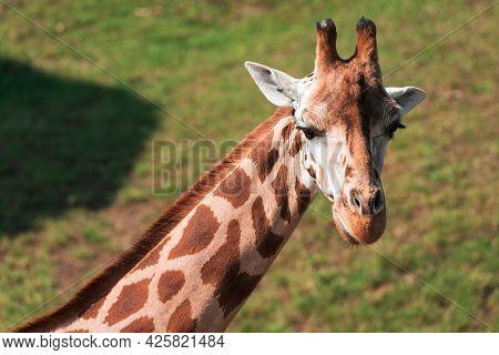 The Giraffe (giraffa) Is An African Artiodactyl Mammal, The Tallest Living Terrestrial Animal And Th
