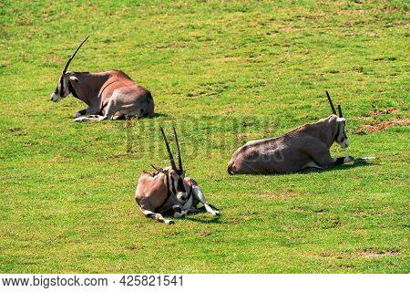 The Gemsbok, Gemsbuck Or South African Oryx (oryx Gazella) Is A Large Antelope In The Genus Oryx. It