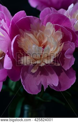 Selective Focus Of Pink Peony With Dew Drops On Black Background. Image For Screensaver, Wallpaper,