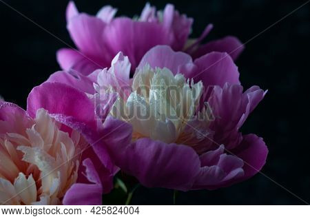 Soft Focus Of Pink Peony With Dew Drops On Black Background. Picture For Screensaver, Wallpaper, Car