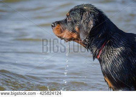 Portrait Of Young Dog Standing In Sea. Drops Of Water Dripping From The Face Of Rottweiler Puppy Aft