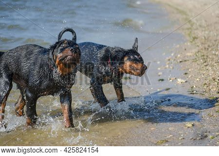 Two Young Dogs Frolicking On The Seashore. Three-month-old Rottweiler Puppies Shake Off Water After