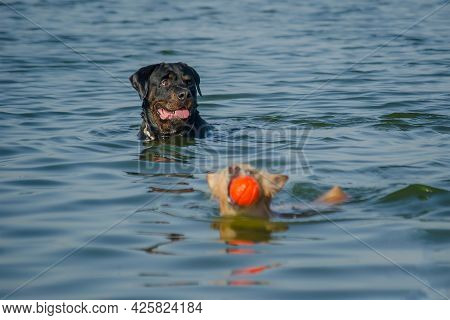 Two Dogs Playing With One Red Ball In The Sea. A Little Red Female Of Mixed Breed Swims In The Water
