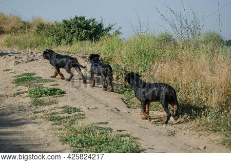 Three Young Dogs Walking Up A Dirt Road. Wet Three-month-old Rottweiler Puppies After Swimming In Th