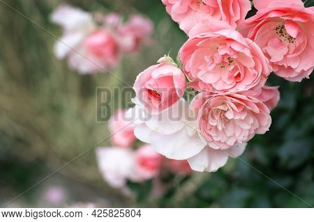 A Bush Of Pink Blooming Roses With Buds, Summer Bloom