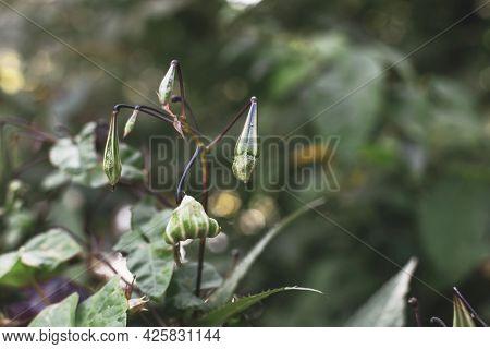 Himalayan Balm Seeds, Impatiens Glandulifera Close Up Photo. Invasive Asian Plant Species