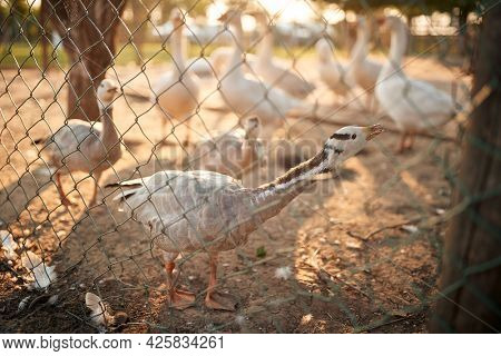 A flock of geese in a coop on a beautiful sunny day. Farm, countryside, summer
