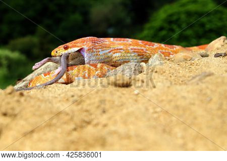 The Corn Snake (pantherophis Guttatus) With Prey On A Green Background. A Color Mutation Of A Corn S
