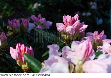 Large And Beautiful Buds Appeared On The Rhododendron Bushes With The Onset Of Spring. Rhododendron