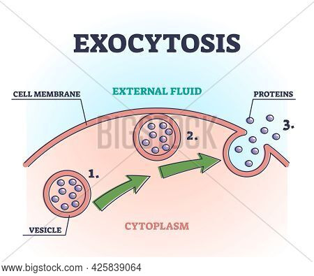 Exocytosis Process Explanation As Proteins Release Mechanism Outline Diagram. Educational Labeled Ce