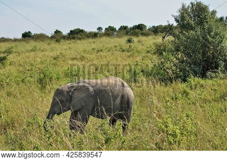 The Baby Elephant Grazes On The African Savannah. The Trunk Is Lowered Into Tall Green Grass. Summer