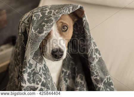 Indoor Portrait Of Basenji Dog Hiding Under Coverlet While Playing In Hide And Seek Game And Looking