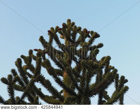Top Of Green Prickly Araucaria Chilean Against Blue Sky. Exotic Plant