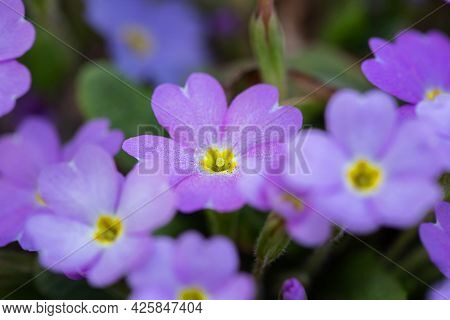 Beautiful Spring Blue Flowers, Close-up. Spring Summer Floral Background With Copy Space. Selective