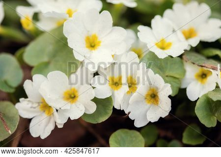 Beautiful Spring White Flowers, Close-up. Spring Summer Floral Background With Copy Space. Selective