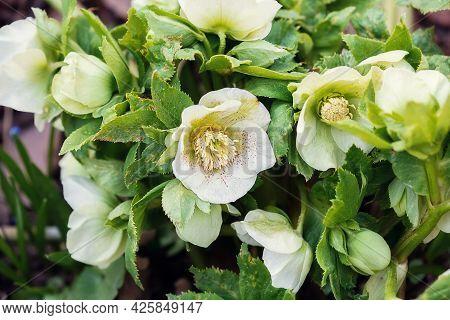Spring Flowers Of Hellebore In The Flowerbed. Selective Focus