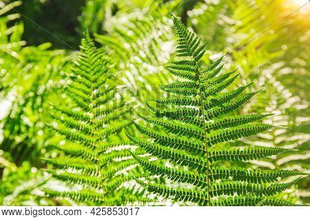 Fern Leaves. Green Fern Plants In Nature Landscape. Fern Plants In Forest. Fresh Green Tropical Foli