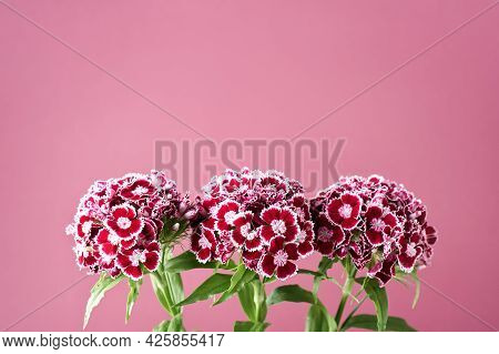 Carnation Flowers On A Pink Background. Dianthus Barbatus, Sweet William.