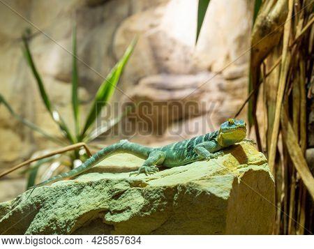 The Baja Blue Rock Lizard Is A Species Of Large, Diurnal Phrynosomatidae Lizard. It Has A Flattened