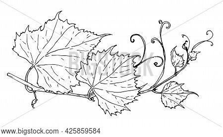 Vector Vine. Isolated Contour Of Black Color, Curved Branch Of Wine Grapes With Leaves And Tendrils