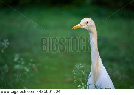 Bubulcus ibis Or Heron Or Commonly know as the Cattle Egret seen among the flower plants in search o