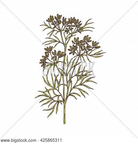 Branch Of Cumin Plant With Flowers, Leaves And Seeds A Vector Sketch Illustration