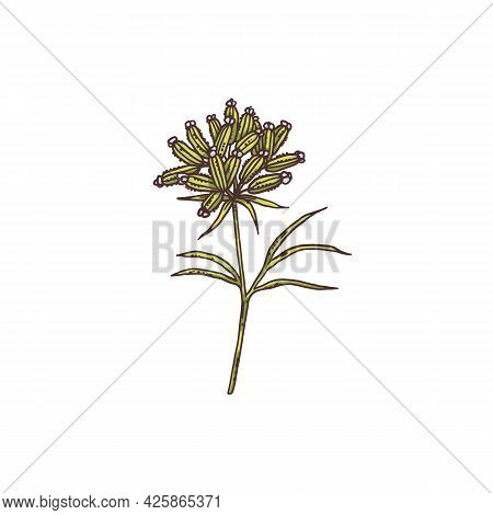 Inflorescence Of Cumin Plant Or Herb, Engraving Vector Illustration Isolated.