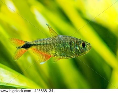 Buenos Aires Tetra (hyphessobrycon Anisitsi) Isolated In A Fish Tank With Blurred Background