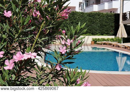 View Through The Oleander Flowers On The Swimming Pool And Sun Beds With Umbrella. Vacation On Summe