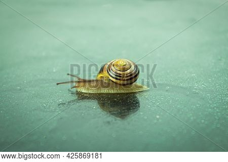A Large Snail Crawls On A Glass Surface Wet From The Rain. Roman Snail Close Up. Background With Cop