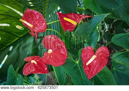 Red Anthurium Or Flamingo Flower. Bright Plant Close-up, Tropical Background