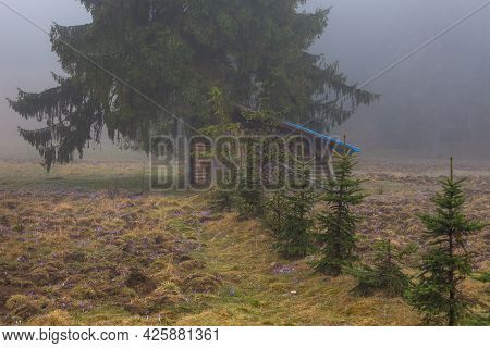 A Shed With Firewood Under The Spruce Trees. A Clearing In The Chocholowska Valley With Blooming Pur