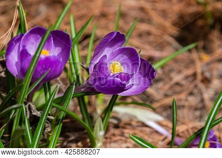 Close Up Of Purple Blooming Crocuses In The Park Springtime. Selective Focus. Blurred Background.