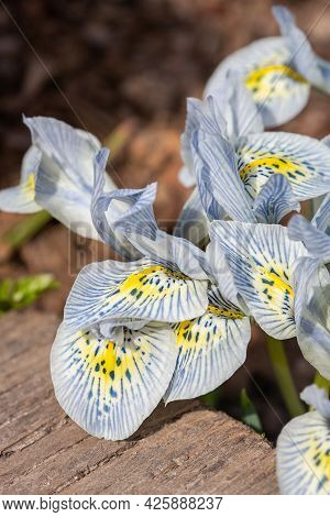 Beautiful Spring White And Blue Flowers, Close-up. Spring Summer Floral Background. Selective Focus.