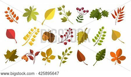Fall Acorns Leaves Berries. Autumn Natural Fallen Leaf, Ripe Acorn And Berry Colorful Vector Set, Co